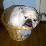 My crazy dog Peaces thinking she can fit in the basket...